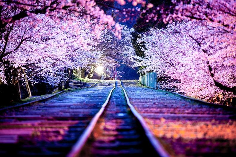 sakura holiday image