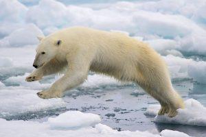 1200px-polar_bear_adf