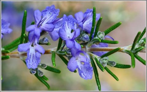 Wake Up and Smell the Rosemary